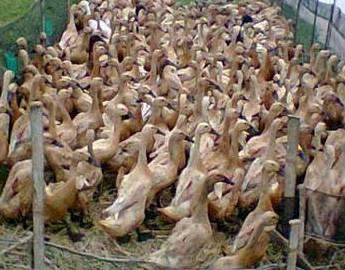 peternakan bebek