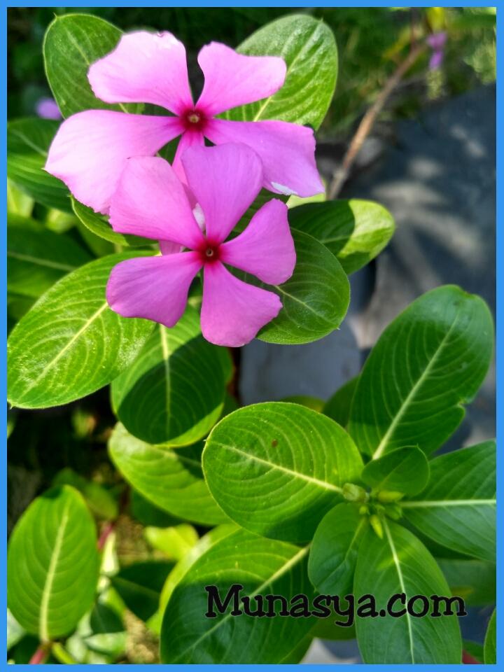 Tanaman herbal mengobati kanker serviks
