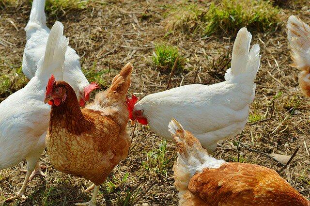 Telur dan daging ayam