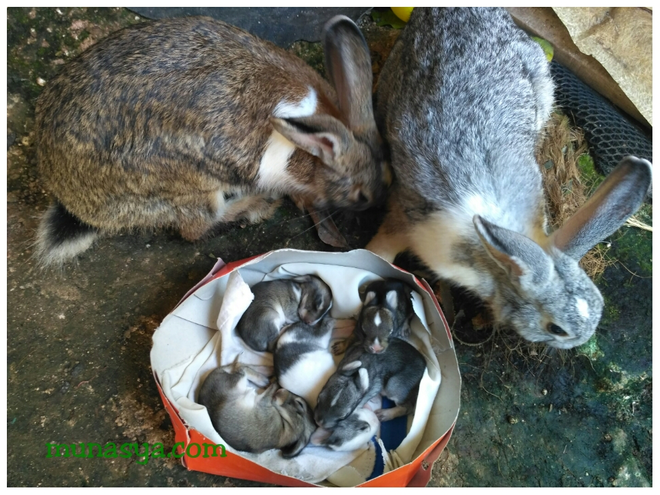 Fakta unik dari kelinci