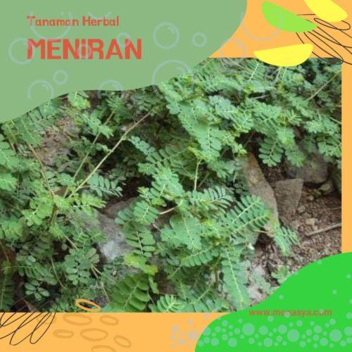 3 Tanaman Herbal Untuk Sistem Imun Tubuh