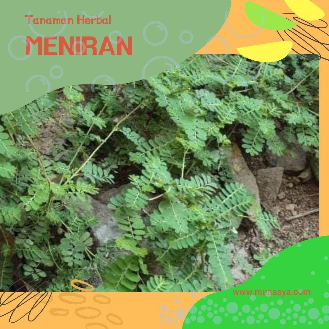 Tanaman herbal meniran untuk